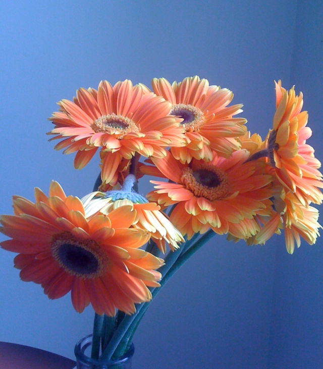 orange gerber daisys